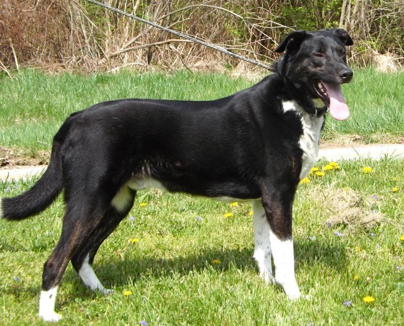 Adopt Porter On Border Collie Lab Mix Dogs Labrador Retriever Mix