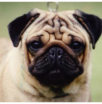 Look At This Gorgeous Pug Australian Champion Saxten Tristan With Images Pug Breeders Pugs Pedigree Dog