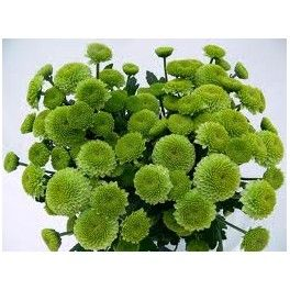 Resultado de imagen de crisantemo verde