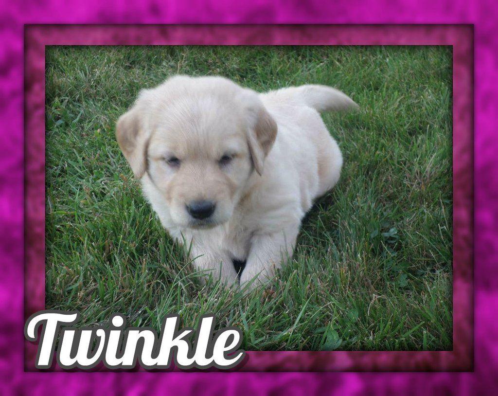 Twinkle Akc Female Golden Retriever 850 Http Www