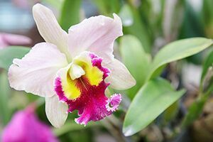 Photo of Cattleya Orchid Care Made Easy (With Pictures) –  Cattleya Orchid Care Made Easy…