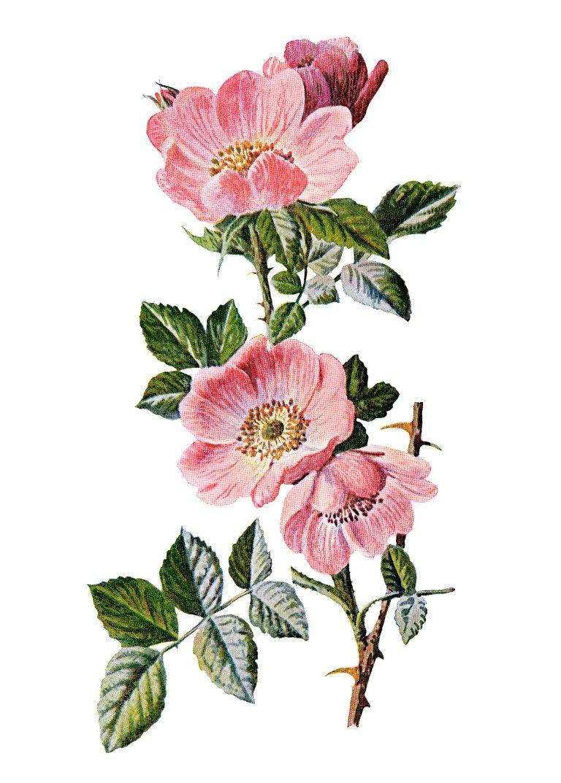 Rose Clip Art Sweet Briar Vintage Flower Illustration Wild Rose Image Frederick Edward Hulme Flower Illustration Flower Drawing Vintage Flowers