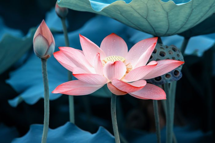 A shade of pink lotus flower flowers pinterest lotus flower a shade of pink lotus flower mightylinksfo