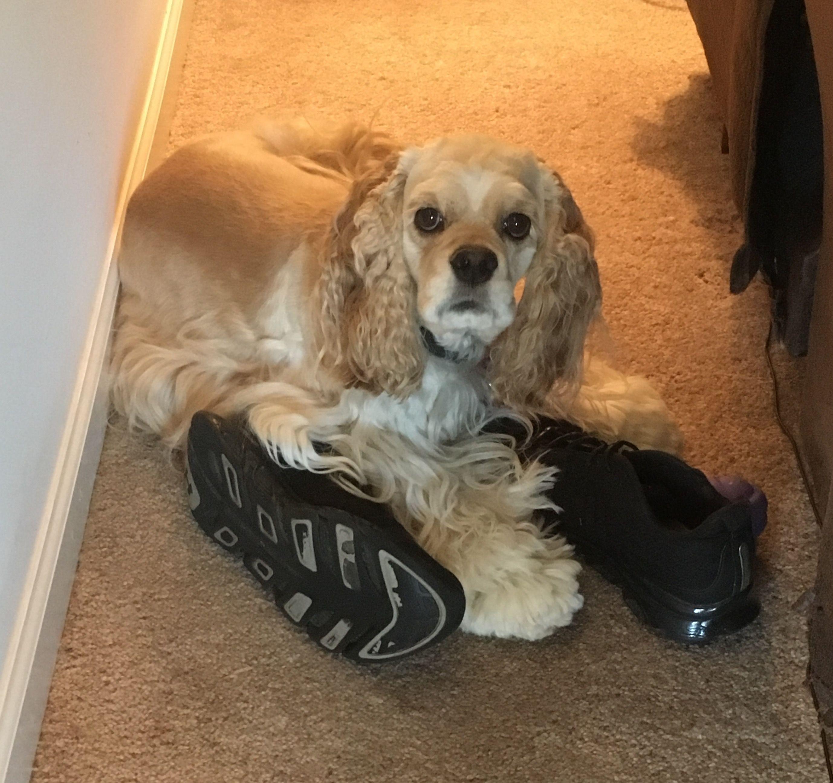 Cocker spaniel steals shoes Cocker spaniel, American