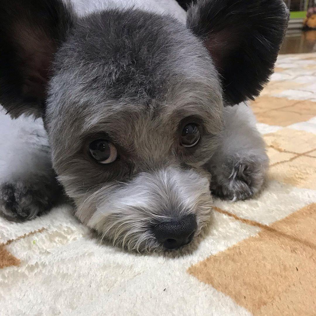 ボクサッパリしたでしょ... #dog #dogsofinstagram #dogs #puppy #dogstagram #instadog #pet #doglover #love #dogoftheday #cute #doglovers #instagram #pets #of #puppylove #doggo #puppies #cat #doglife #puppiesofinstagram #ilovemydog #dogsofinsta #animals #hund #doggy #petstagram #k #animal