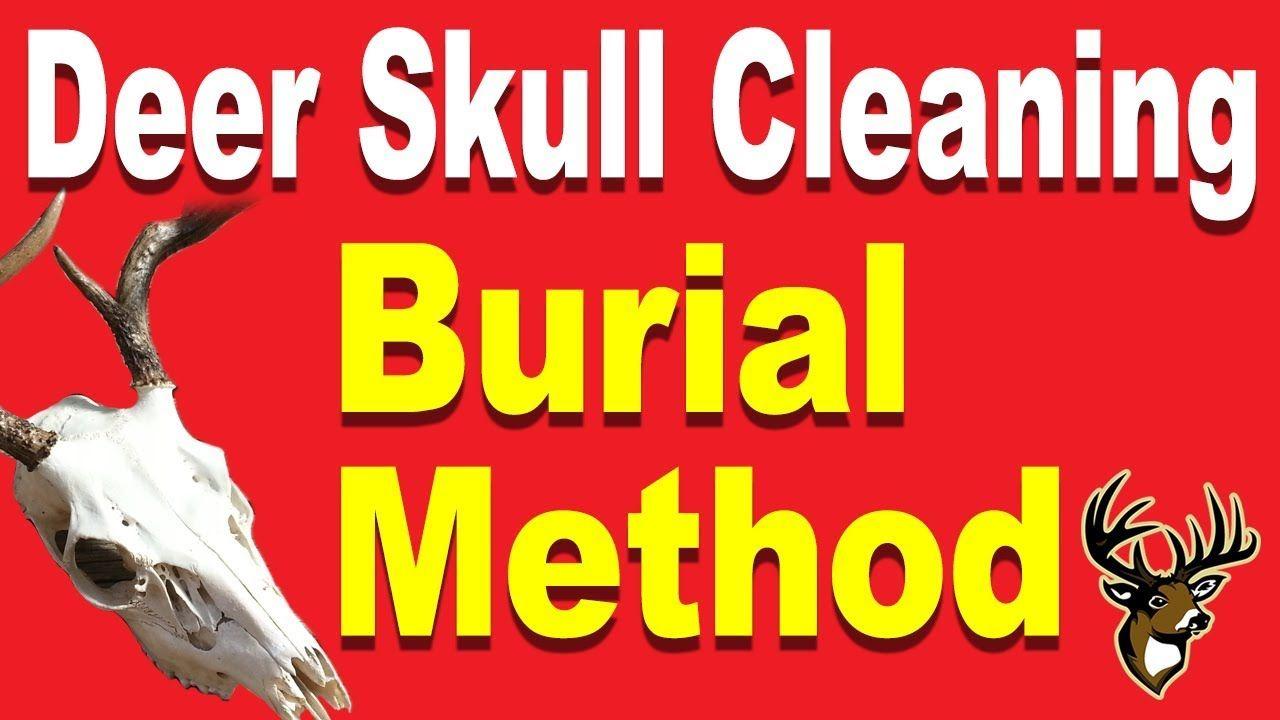 Deer skull cleaning for a european mount burial method