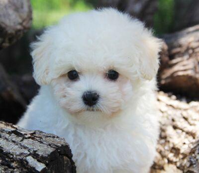 Baby Boy Alvin Dog Maltipoo Puppy Cream Maltipoo Puppies