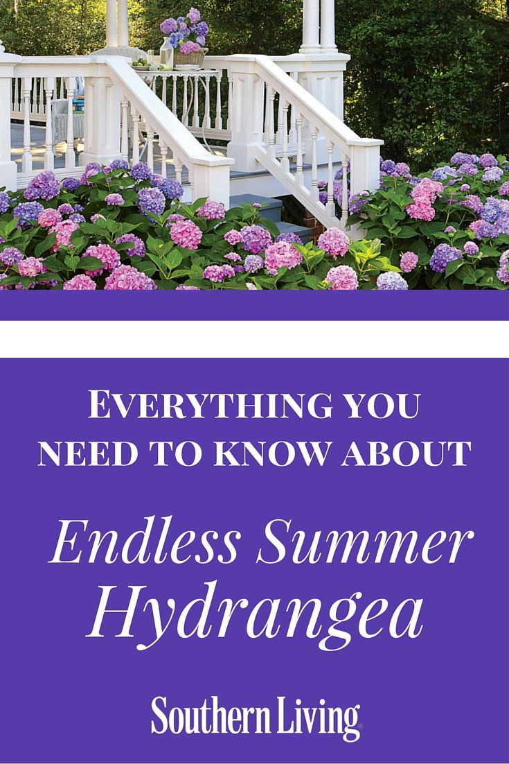 Few Plants Have Made Such An Instant Splash As U0027Endless Summeru0027 Hydrangea  When It