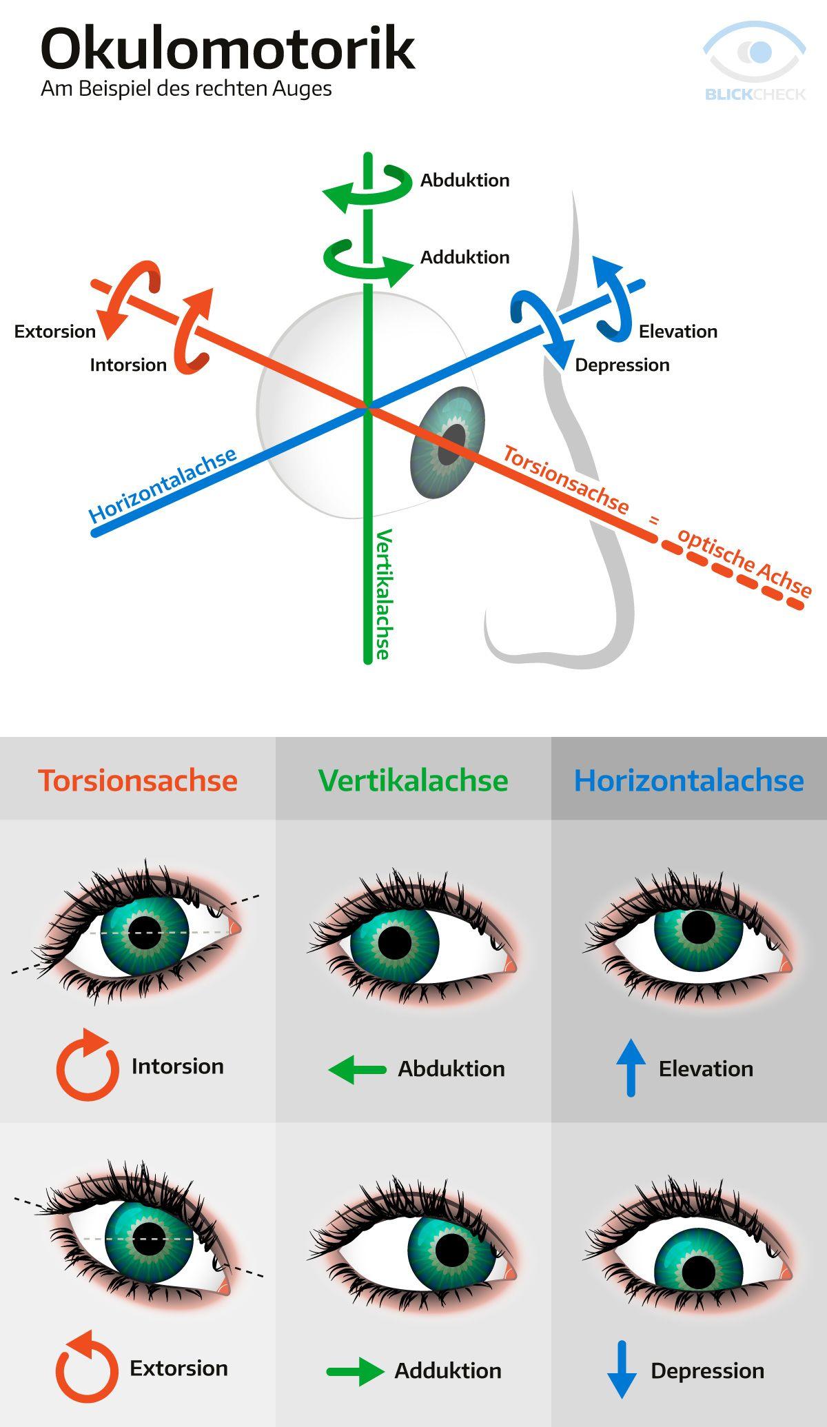 Okulomotorik (Augenbewegung) am Beipiel des rechten Auges ...