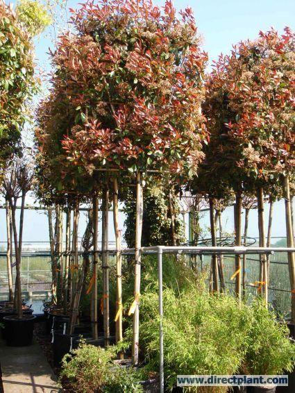 glansmispel als leiboom photinia fraseri 39 red robin 39 tuin pinterest photinia red robin. Black Bedroom Furniture Sets. Home Design Ideas