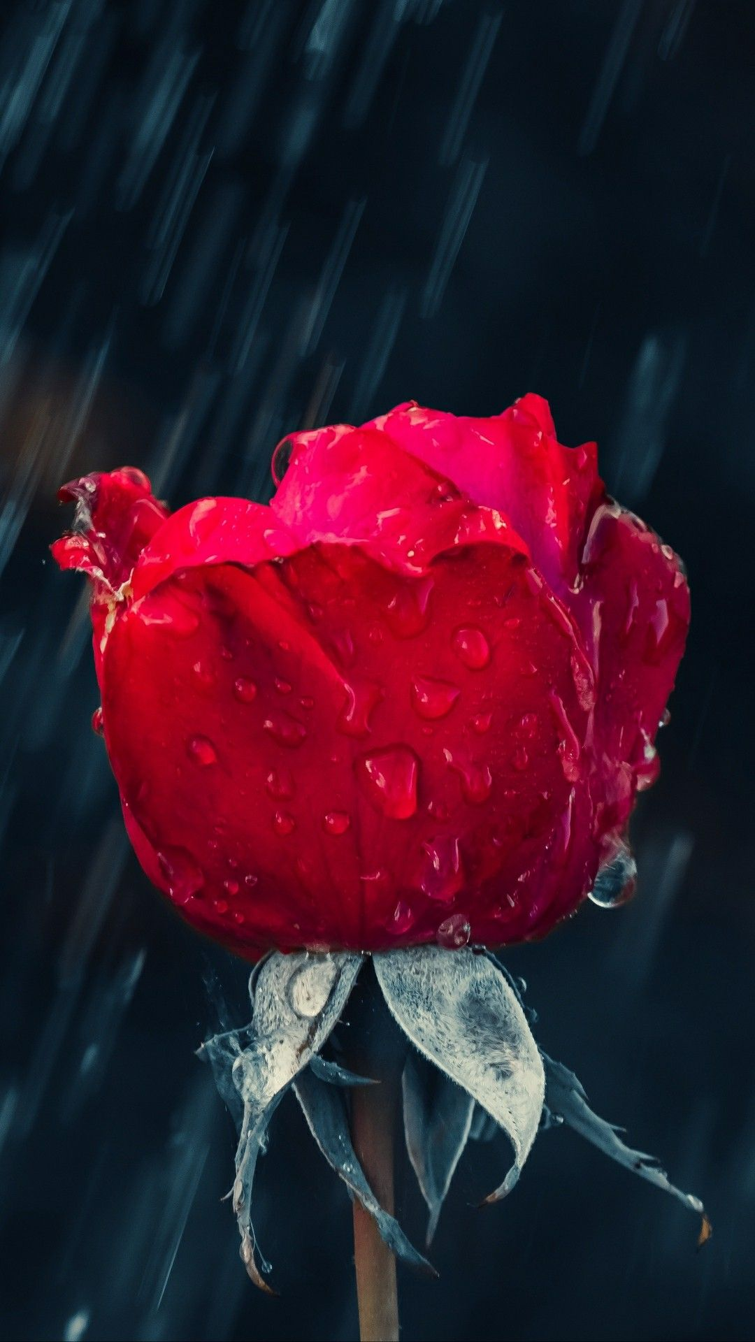 Rose In The Rain Rose Flower Wallpaper Flower Iphone Wallpaper Red Roses Wallpaper