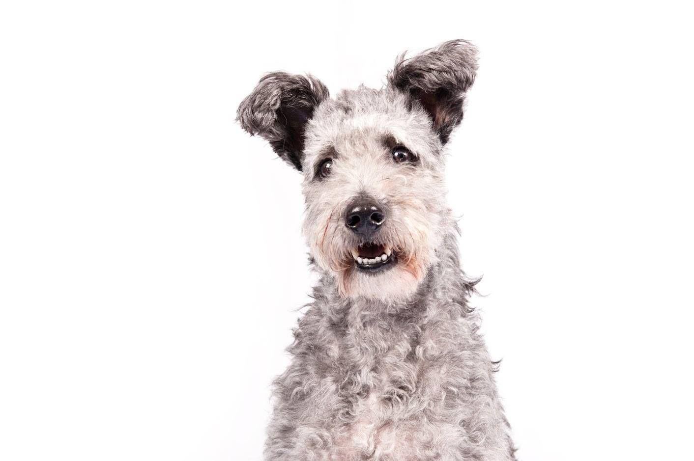 Do I look cute? pumi pumidog Pumi dog, Purebred dogs, Dogs