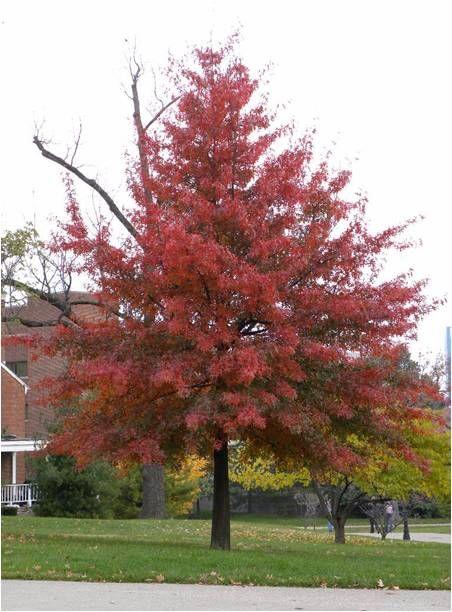 Pin by Mango Purdy on Trees | Farm gardens, Oak tree, Red oak
