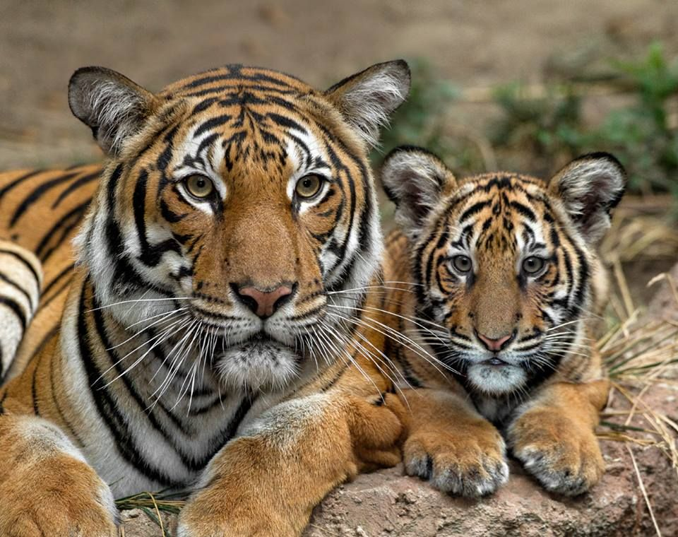 a tiger s skin is striped just like its fur mommy