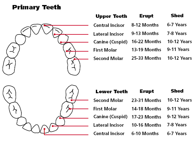 Baby And Toddler Teething Help  Teething Chart Teething Signs