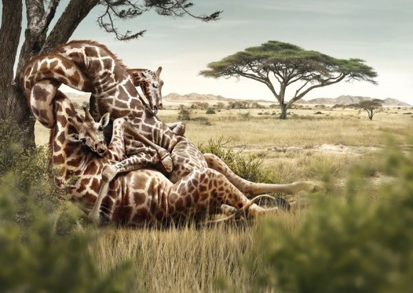 Giraffes photographed by Joan Garrigosa & Alex Torrens - Picture Of The Week - ONE EYELAND