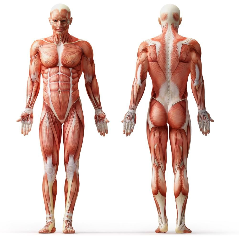 Human Anatomy Muscles Of The Body Full Body Muscles Human Anatomy
