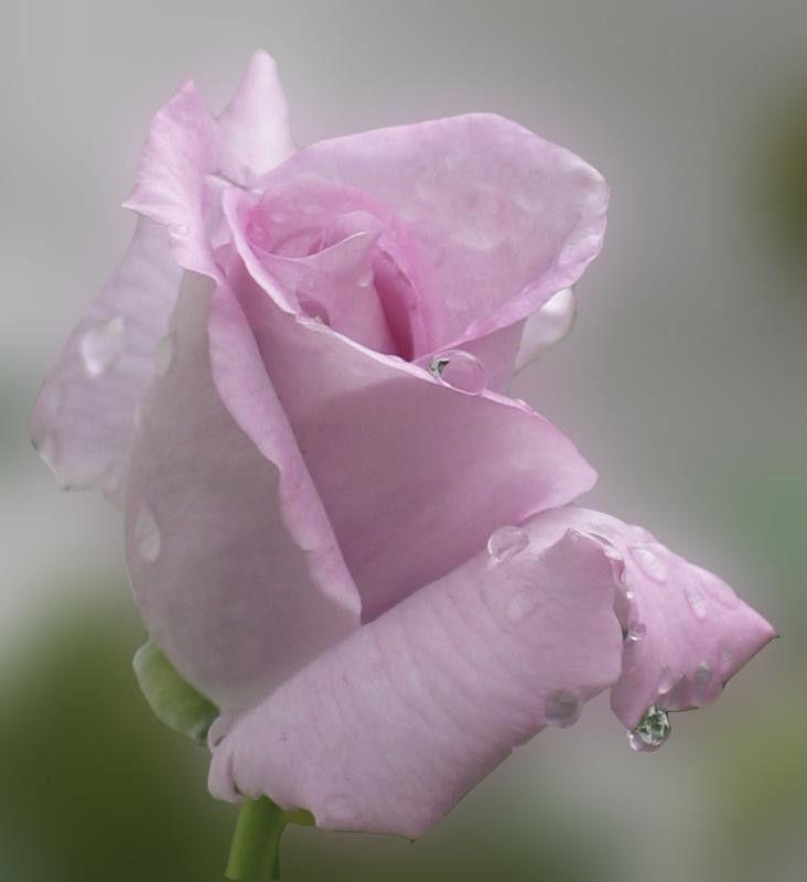 fondos de pantalla de rosas - Pesquisa Google