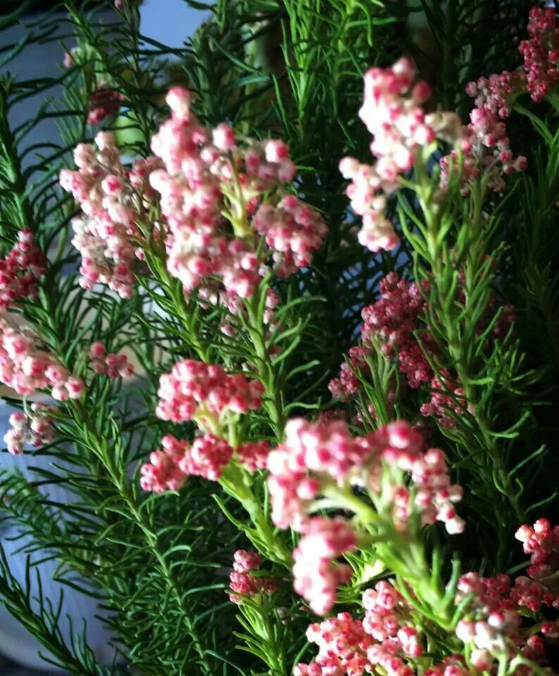 Pink rice flowers gardener pinterest flowers pink rice flowers mightylinksfo