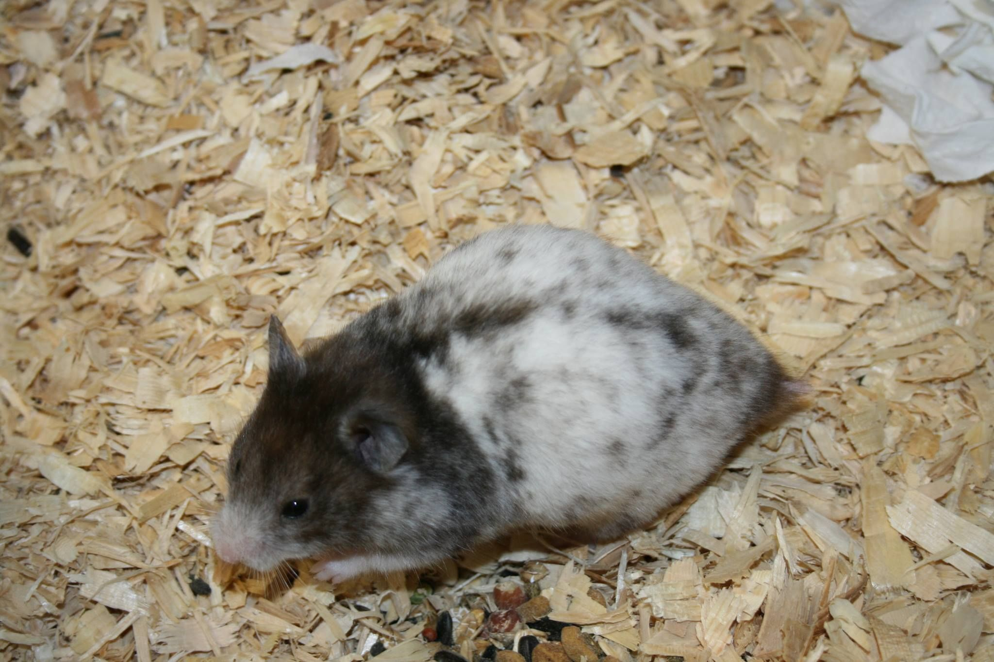 Facebook Syrian Hamster Small Pets Hamster