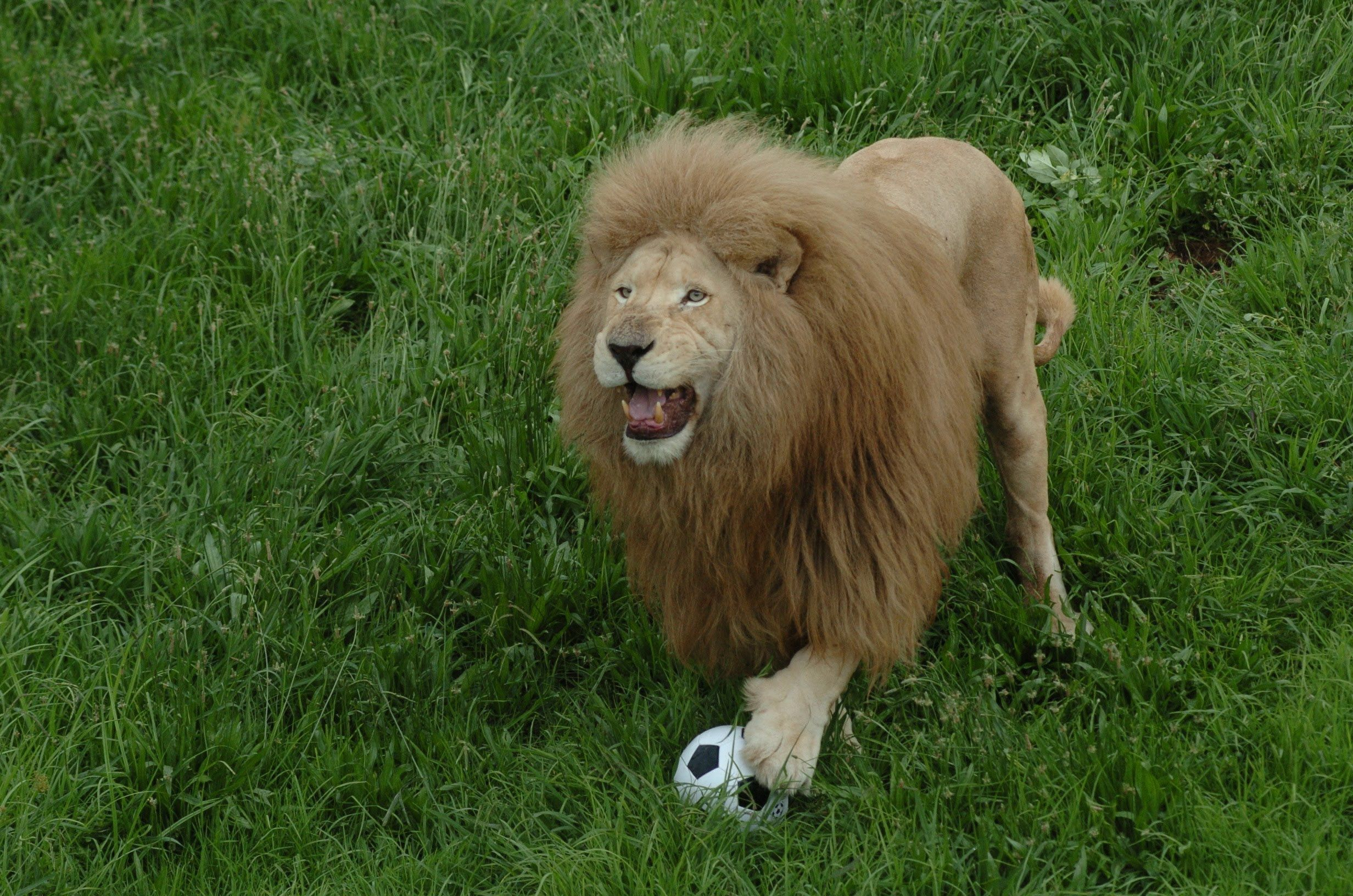 As Soon As They Toss A Soccer Ball Into His Enclosure, This Lion Goes Nuts!