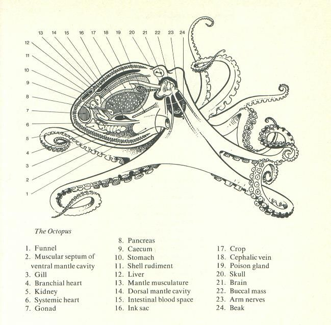 Octopus Octopod Octopuses Anatomy Diagram The Most Noble And