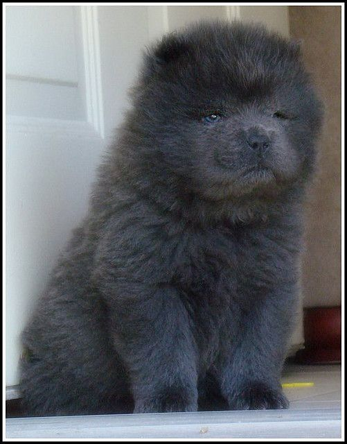 Blue Chow Puppy Male By Puertorrican Girl Puppy Pictures