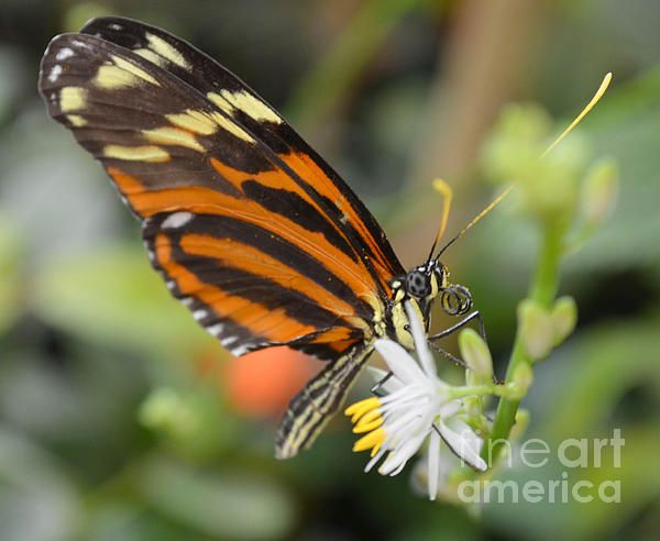 Monarch Butterfly Photograph by Michael Moriarty