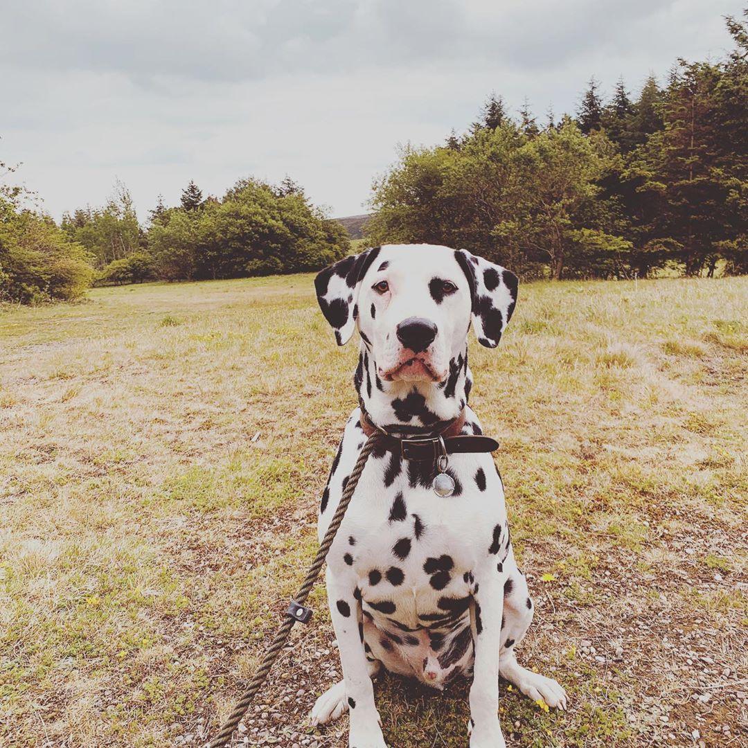 #dalmatian #spots #walkies #dogsofinstaworld #dogsofinstagram #doglife