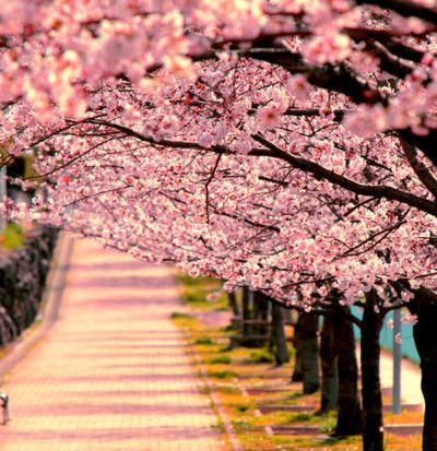 Cherry Trees Casting Small Shadows Spring Scenery Beautiful Nature Cherry Blossom