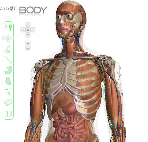 Zygote 3D human body viewer - Users can zoom in and out of both the male and female forms and peel back anatomical layers. There are also options to search for and identify, muscles, organs and bones around the torso.
