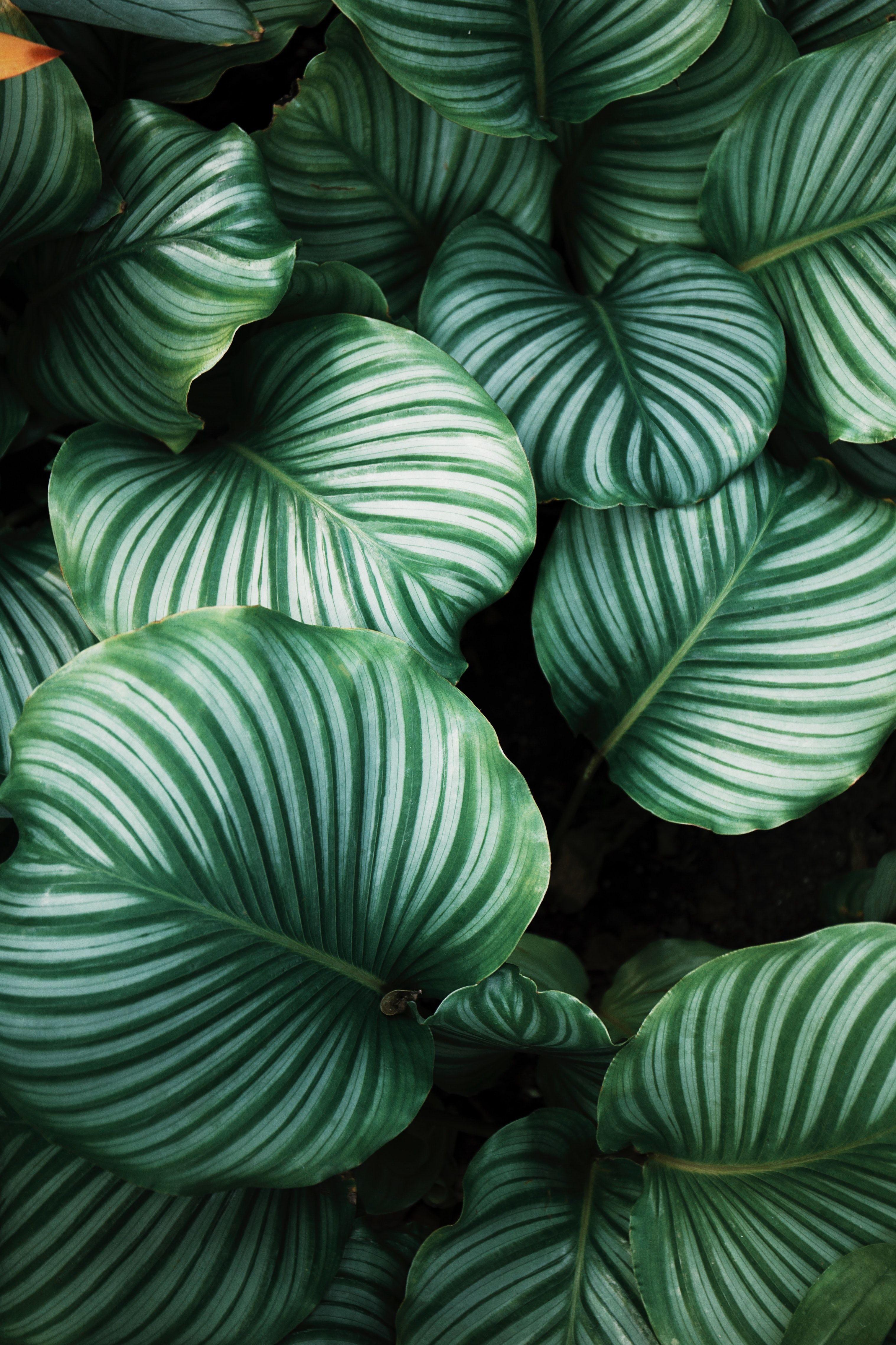 green and white leafed plants Plant wallpaper, Leaves