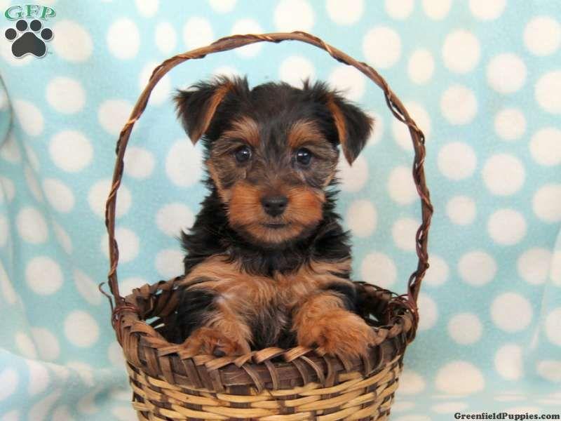 Whitney Yorkie Puppy For Sale In Gordonville Pa Yorkie Puppy