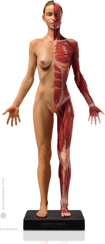Female figure: Medical v3A | Drawing board | Pinterest | Anatomía ...