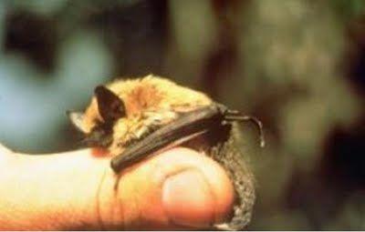 Bumblebee Bat, aka Kitti's Hog-Nosed Bat :) I love 'em!