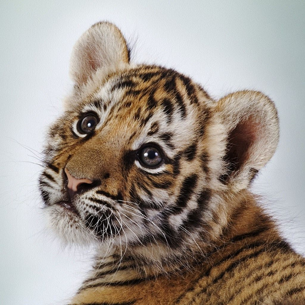 Baby Tiger | tiger poaching, curb demand for tiger parts, protect ...