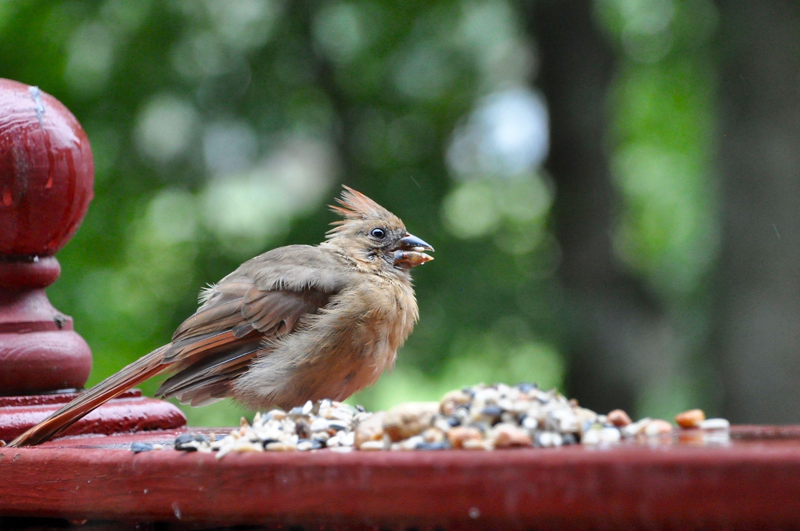 Young Cardinal Animals Cardinals Birds