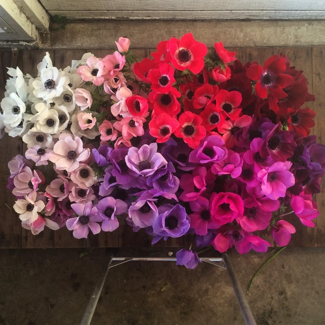 Shades of anenmoies | April Flowers | Pinterest | Weddings