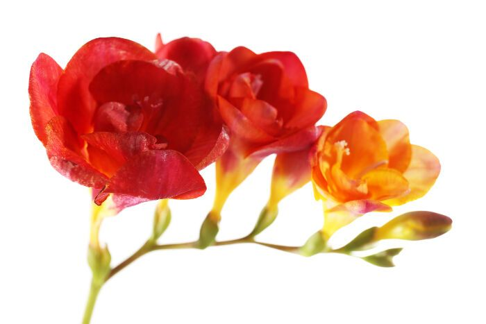 Freesia Flower Meaning Freesia Flowers Flowers Flower Meanings