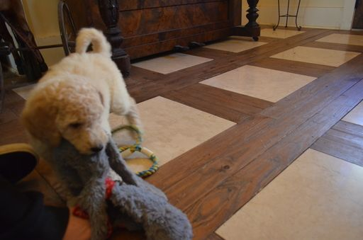 Litter of 8 Goldendoodle puppies for sale in COVINGTON, GA