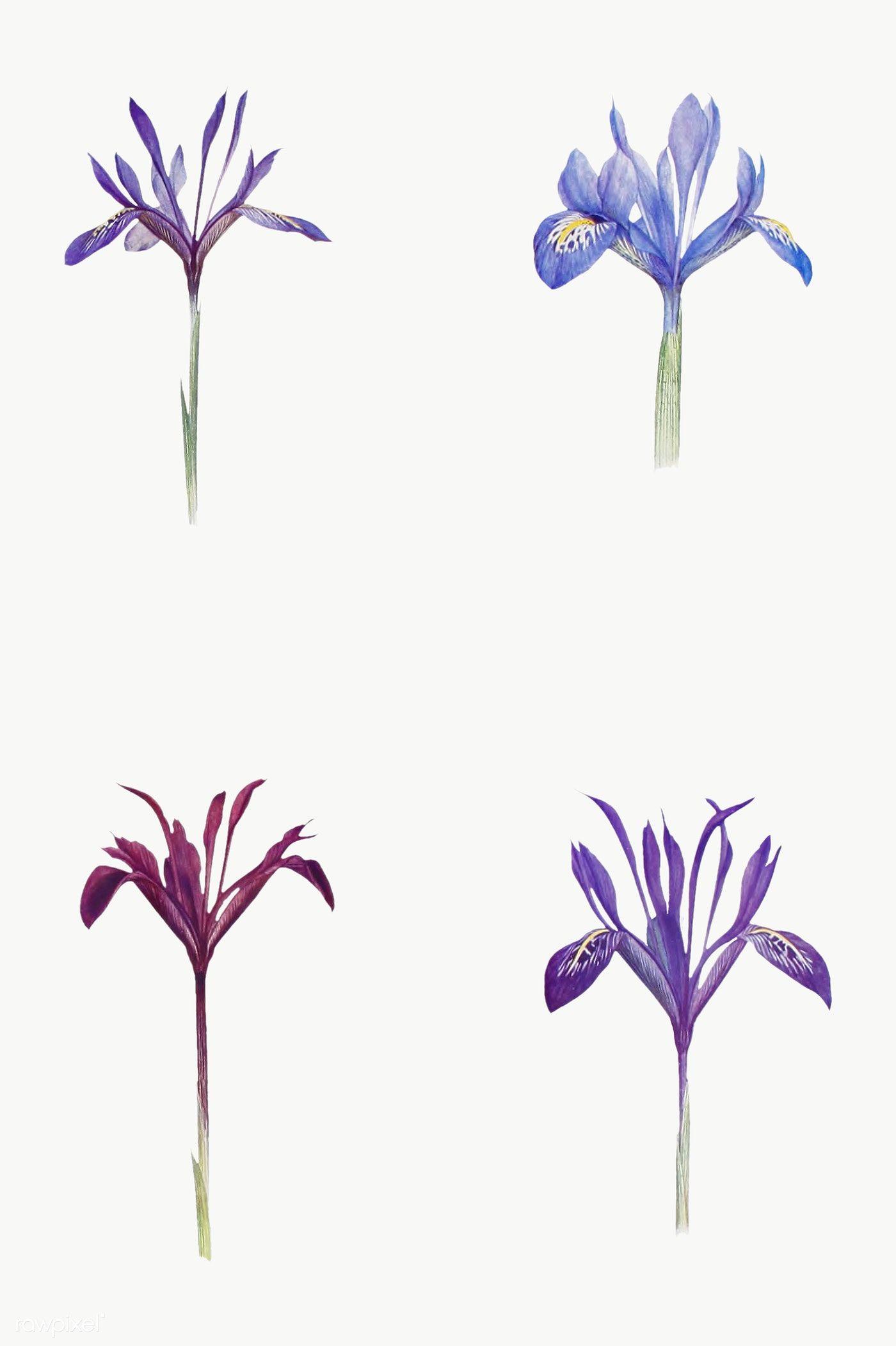 Vintage Iris Flower Illustrations Collection Transparent Png Premium Image By Rawpixel Com Iris Flowers Iris Flower Tattoo Flower Illustration