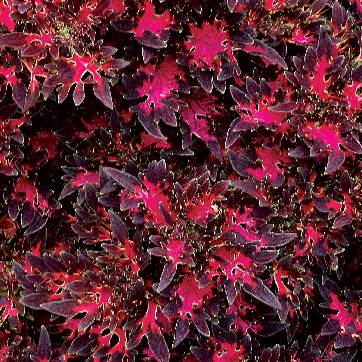 Coleus WILDFIRE™ 'Smoky Rose' 버킷리스트