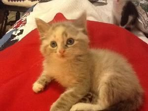 Juliet Is An Adoptable Ragdoll Cat In Austin Tx You Can Fill Out An Adoption Application Online On Our Official Website Perfe Pet Finder Ragdoll Cat Ragdoll