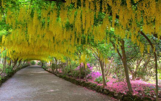 Laburnum Arch Britain Bodnant Garden Which Is Owned By