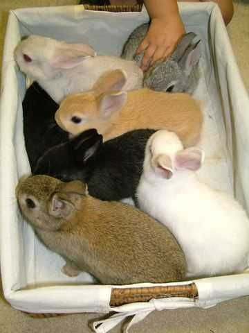 Cheap Bunnies : cheap, bunnies, Netherland, Dwarf, Rabbits, Sale,, Bunny