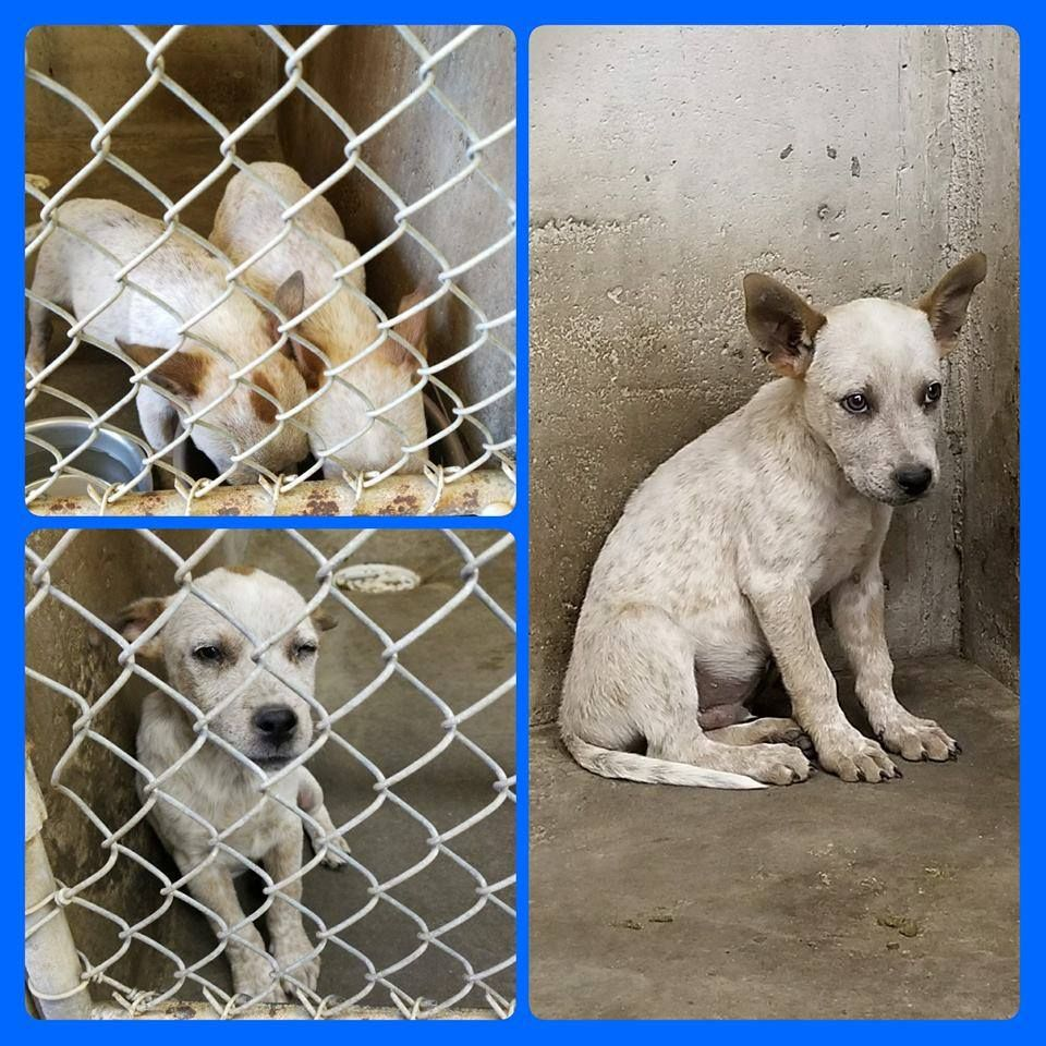 4 26 17 Big Spring Tx Pups Sparky Id 1k33 Male 4 Month Puppy Heeler Sleepy Id 2k33 Male 4 Month Puppy Heeler Ava Dog Adoption Animal Abuse Your Pet
