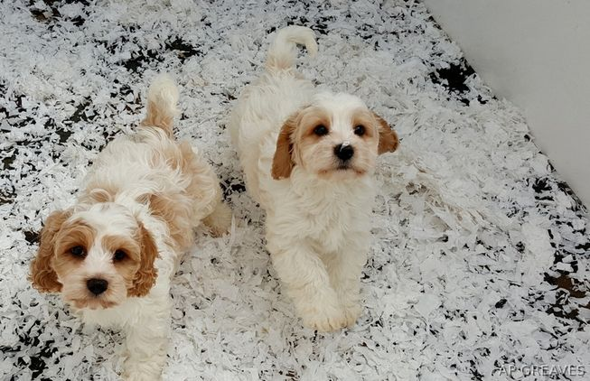 Dogs for Sale and Puppies for Sale. Search and browse Dogs