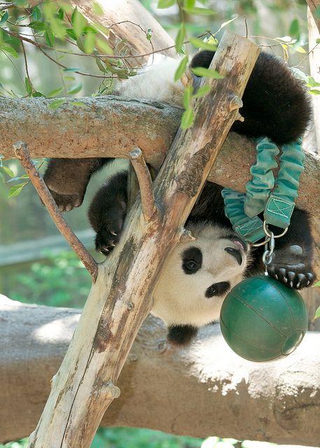 Mr Wu Plays Tether Ball Osos Panda Oso Panda Panda