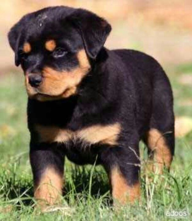 Rotwelier I M Getting This Dog Rottweiler Puppies Puppies