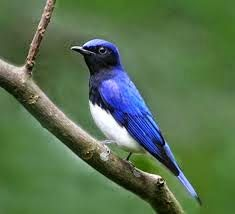 Tips Merawat Burung Selendang Biru Agar Gacor dan Rajin